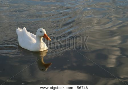 white duck swimming in a pond poster