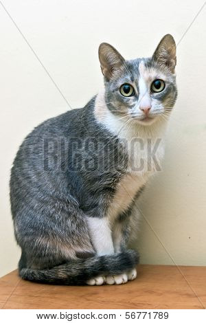 cat sitting in a classical pose with staring eyes poster