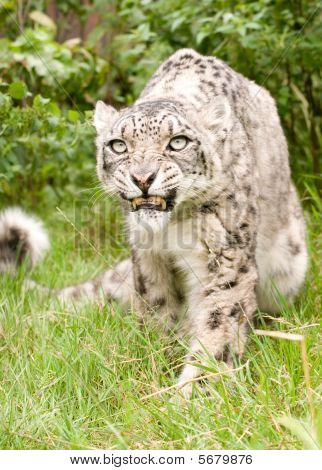 Growling Snow Leopard