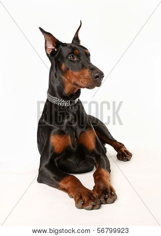 Studio Shot Of Dobermann