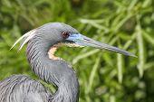 Tricolored Heron (Egretta tricolor) in the Florida Everglades poster