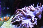 Clown fish in a tank poster