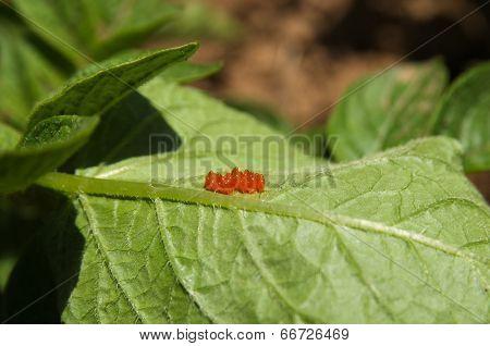 Colorado Beetle Eggs - Leptinotarsa Decemlineata