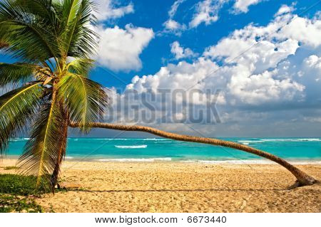 Palm Tree on a beach of the Caribbean Sea