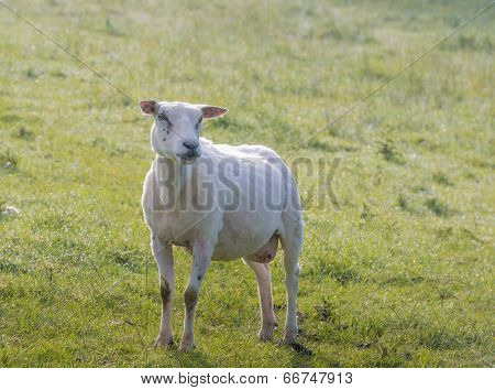 Just Shorn Sheep Stands In The Grass