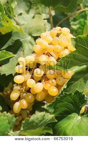 Bunch Of Ripe Muscat Grapes Closeup, Sunlit