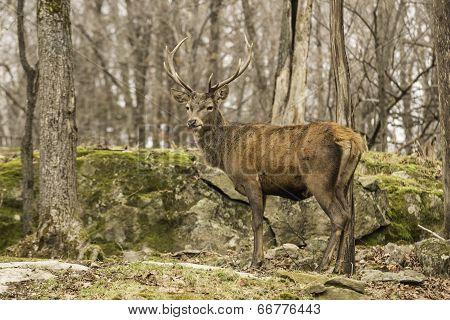 Wapiti in a forest