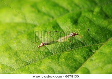 Plant Bugs (metacanthus Pulchellus) Mating