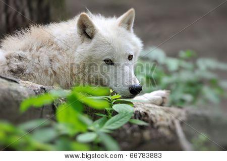 Arctik Wolf