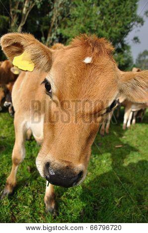 Nosey Calf