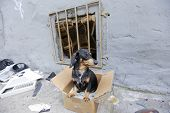 Small, short hair dachshund abandoned on garbage-strewn city sidewalk in dirty cardboard box looking frightened poster