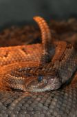 Venomous snake Crotalus in the terrarium. Close-up. poster