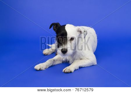 Cute Dog On Blue Background