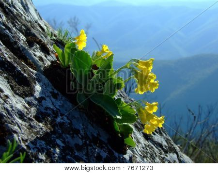 Wild yellow flower on the rocky slope