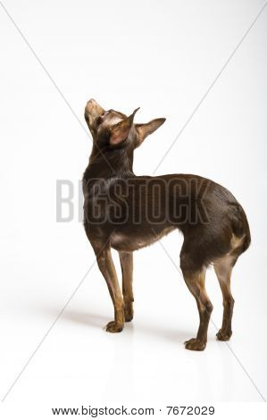 picture of the funny curious toy terrier dog