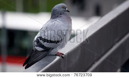 Pigeon awaiting some action watching people around