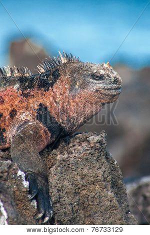 Part Of A Male Marine Iguana On Floreana, Galapagos, Ecuador