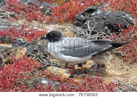 swallow-tailed-gull with its chick on Isla Plaza Sur Galapagos Ecuador poster