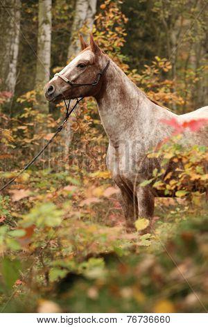 Nice Appaloosa Mare In Autumn Forest