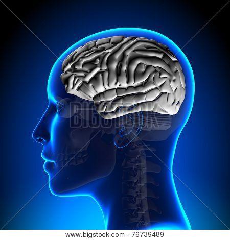 Female Brain Anatomy - White Brain