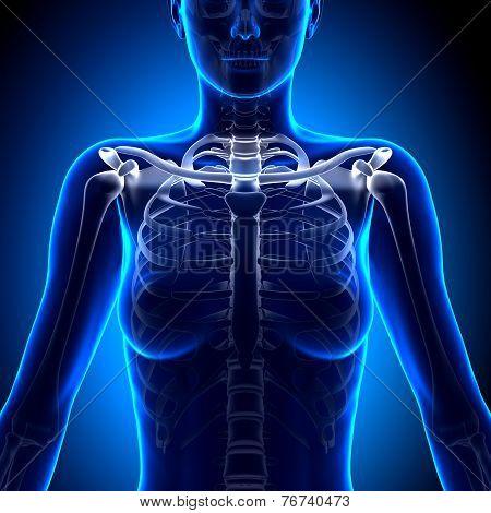 Female Clavicle Bone Anatomy - Anatomy Bones