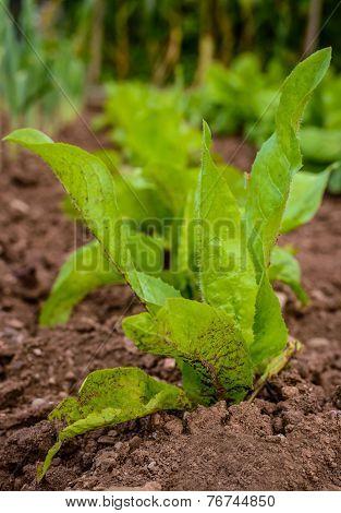 Green Fresh Salad Growing