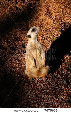 Small Ground Squirrel