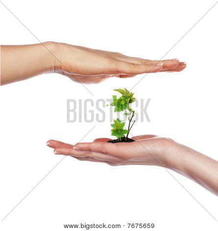 Palma y brotes verdes