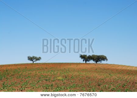Two trees on hill top