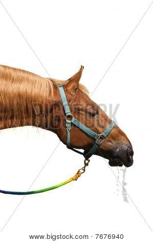 Saddlebred Drinking