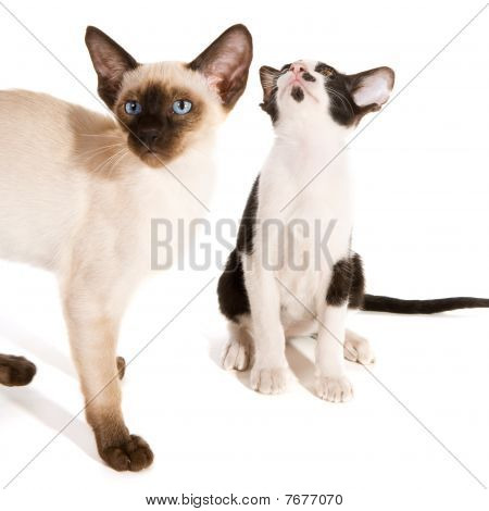 Cute little black and white Siamese kitten with pointed cat in studio poster