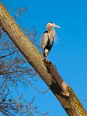 blue heron sitting high above the ground in a cottonwood tree. watched him there as he cleaned himself. poster