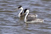Pair of Western Grebes (Aechmophorus occidentalis) swimming poster