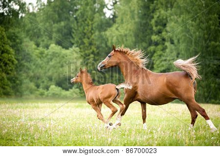 Arabian Foal With Mare