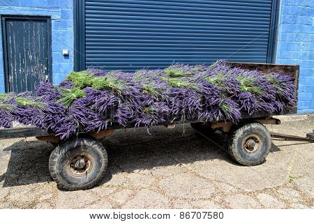 Vintage pushcart with bunches of purple lavender
