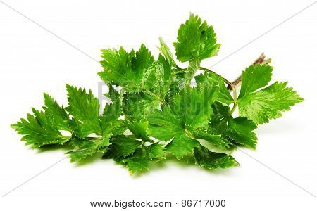 Twig Of Green Parsley Isolated On White