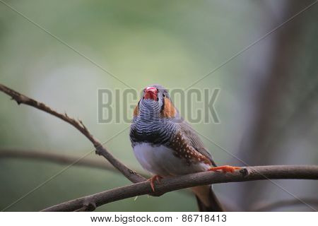 Male Zebra Finch (taeniopygia Guttata) On Twig