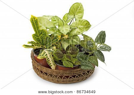Syngonium Croton And Other Potted Plants