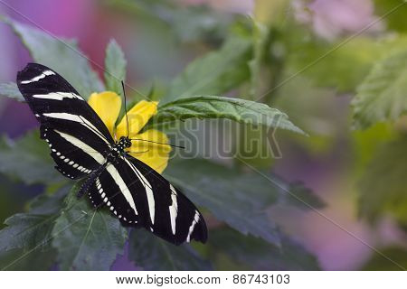 Heliconius charithonia (Zebra Longwing)