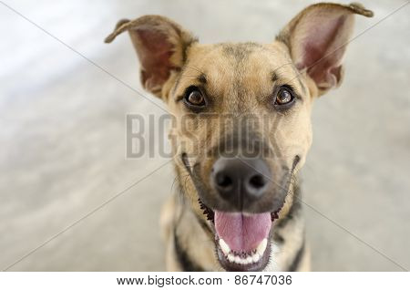Dog Funny Smiling Laughing Curious German Sheppard