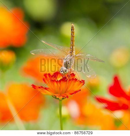 Dragonfly On Orange Flower With Orange Flowers Background