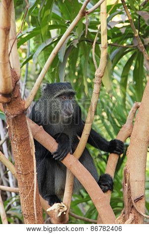 Blue Diademed Monkey On A Tree
