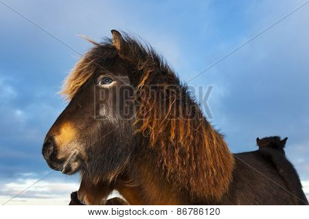 Icelandic Horse (Eguus cabballus)