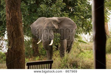 Elephant at lodge