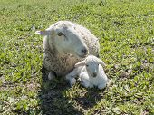 Lamb with his mother In The Field