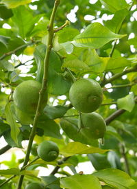 Fruits of lime on a tree branch