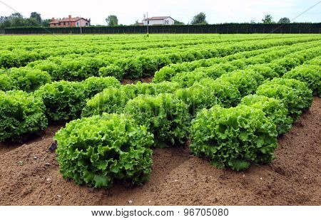 Lettuce In The Huge Agricultural Plains Field In Summer