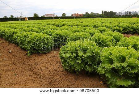 Green Lettuce In The Field In Summer