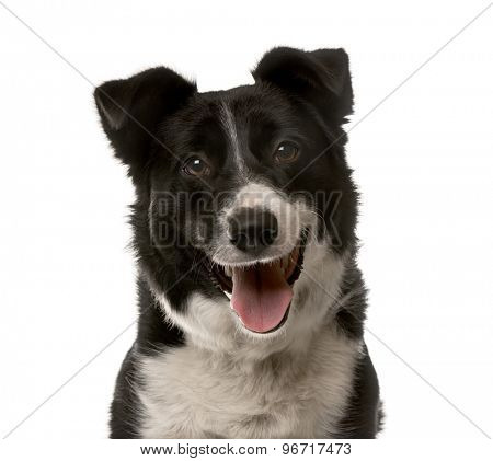 Close-up of a Crossbreed dog in front of a white background