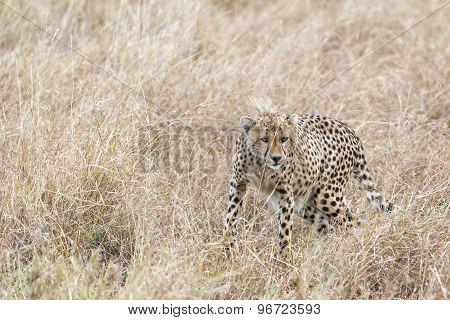 African Cheetah Hunting